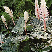 ACANTHUS Whitewater - Single Plants