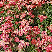 ACHILLEA millefolium 'Paprika' - 6-Pack of Plants