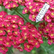 ACHILLEA millefolium 'Pomegranate' - Single Plants