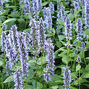 AGASTACHE foeniculum x rugosum 'Blue Fortune' - Single Plants