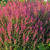 Agastache Heatwave - Single Plants