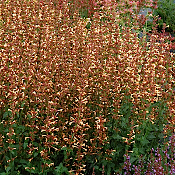 Agastache Summer Glow  - Single Plants