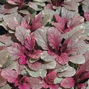 Ajuga Burgundy Glow - Single Plants