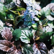 Ajuga reptans 'Bronze Beauty' - Single Plants