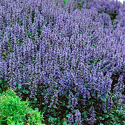 Ajuga reptans 'Catlins Giant' - Single Plants