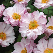 ANEMONE 'Loreley' - Single Plants