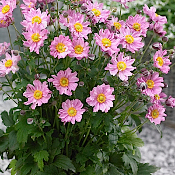 ANEMONE Fantasy 'Pocahontas'  - Single Plants