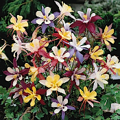 AQUILEGIA vulgaris Winky Mix - Single Plants