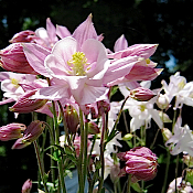 AQUILEGIA x 'Biedermeier' - 6-Pack of Plants