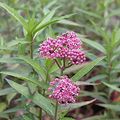 Asclepias incarnata - Single Plants