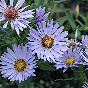 ASTER dumosus 'Wood's Blue' - Single Plants