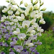 BAPTISIA 'Lunar Eclipse' - Single Plants