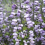 BAPTISIA papilionaceae 'Purple Smoke' - Single Plants
