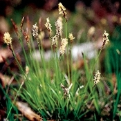Carex pensylvanica - 6-Pack of Plants