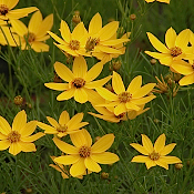 Coreopsis v. Zagreb - Single Plants