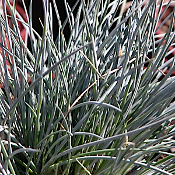 Festuca Boulder Blue Ornamental Grass - 6-Pack of Plants