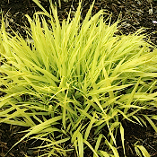 Hakonechloa m. All Gold - Japanese Forest Grass - 6-Pack of Plan