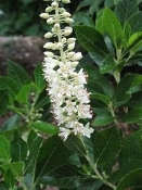 CLETHRA ALN. 'SIXTEEN CANDLES' - Single Plants
