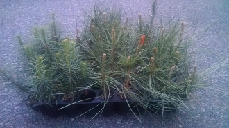 Ponderosa Pine Seedlings - Single Plants