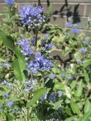 CARYOPTERIS x cland. 'Dark Knight' - Single Plants