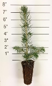 Forest in a Box - Colorado Blue Spruce