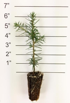 Forest in a Box - Canaan Fir
