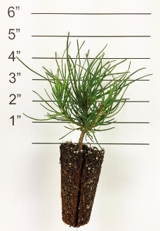 Forest in a Box - Mugo Pine