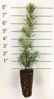 Forest in a Box - White Spruce