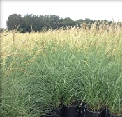 Miscanthus sinensis 'Adagio' - Single Plants