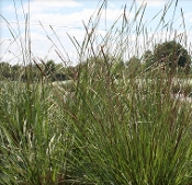 Dwarf Fakahatchee Ornamental Grass - Single Plants