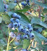Highbush Blueberry - Single Plants
