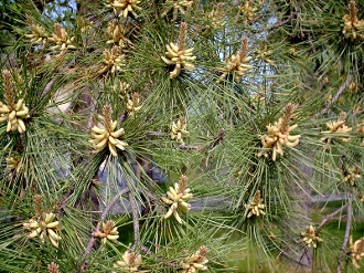 PINUS RIGIDA (pitch pine) - Single Plants