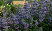 CARYOPTERIS X 'GRAND BLEU' - Single Plants