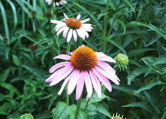 Echinacea purpurea - Single Plants