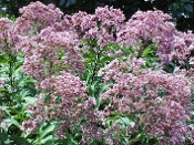 Eupatorium Purple Joe Pye  -Single Plants