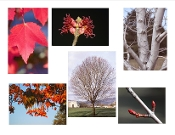 Acer Rubrum (Red Maple) - Single Plants