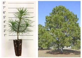Loblolly Pine - Plugs (Single Plants)