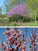 CERCIS CANADENSIS (eastern redbud) - Single Plants
