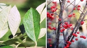 PHOTINIA PYRIFOLIA (red chokeberry) - Single Plants