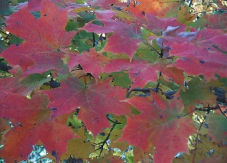Acer Saccharum (Sugar Maple) - Single Plants