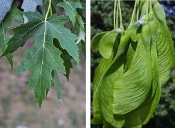 Acer Saccharinum (Silver Maple) - Single Plants