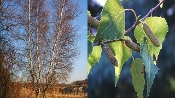 BETULA POPULIFOLIA (gray birch) - Single Plants