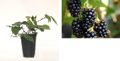 BLACKBERRY BLACK SATIN - Single Plants