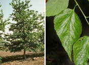 CELTIS OCCIDENTALIS (hackberry) - Single Plants
