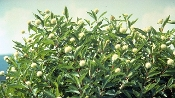 CEPHALANTHUS OCCIDENTALIS (buttonbush) - Single Plants