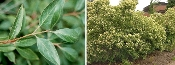 CORNUS RACEMOSA (gray dogwood) - Single Plants