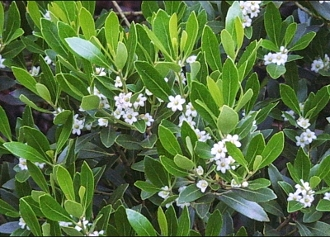 ILEX GLABRA (inkberry holly) - Single Plants