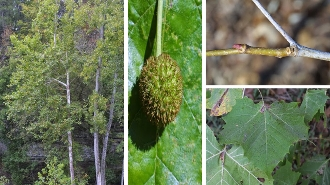 PLATANUS OCCIDENTALIS (sycamore) - Single Plants