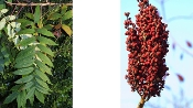RHUS GLABRA (smooth sumac) - Single Plants