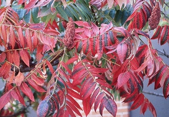 RHUS TYPHINA (staghorn sumac) - Single Plants